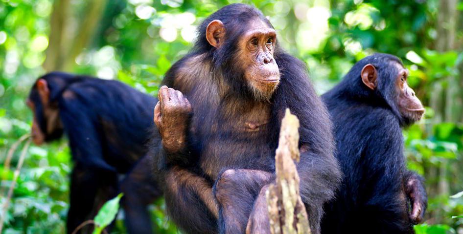 7 Days Gorilla, Chimpanzee and Wildlife Safari